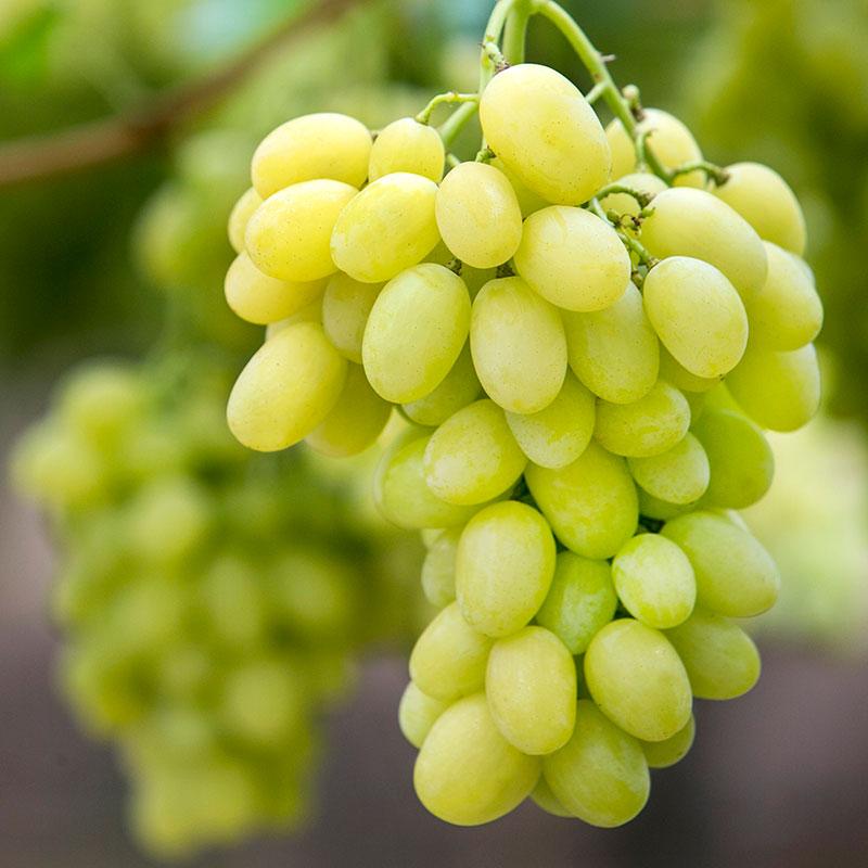 Uvas com grainha